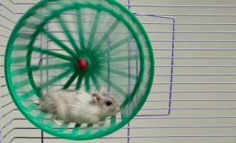 por-que-los-hamsters-corren-en-la-rueda-1
